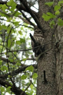 Barred owl just above the deck