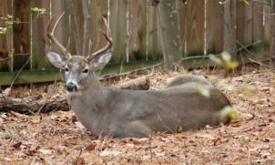Buck in the yard, fall 2014