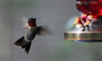 Ruby-throated hummingbird at feeder