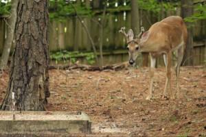 Backyard deer 2015 (1) 6x4