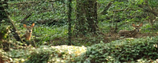 Backyard deer 2015 (3) 10x4