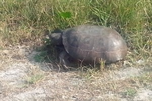 Gopher Tortise St Augustine 1 4x6