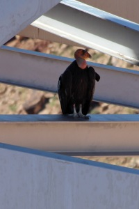 California Condor on Navajo Bridge