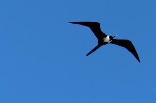 P Frigate Bird (334)
