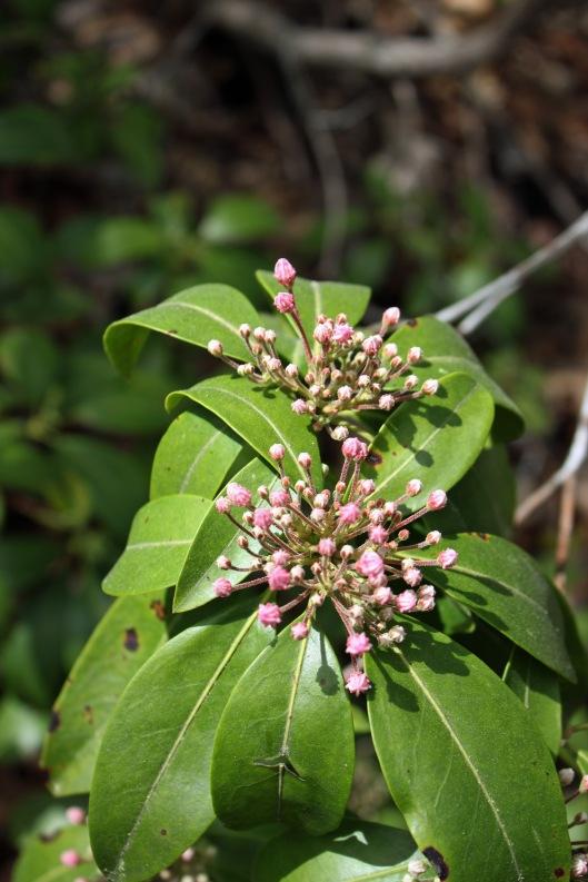 Mountain laurel almost blooming