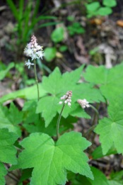 Saxifrage (foam flower)