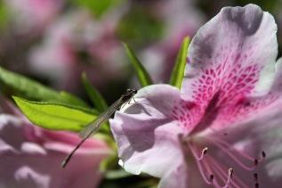 Pink azalea with dragonfly 1