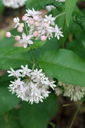 Four-leaved milkweed