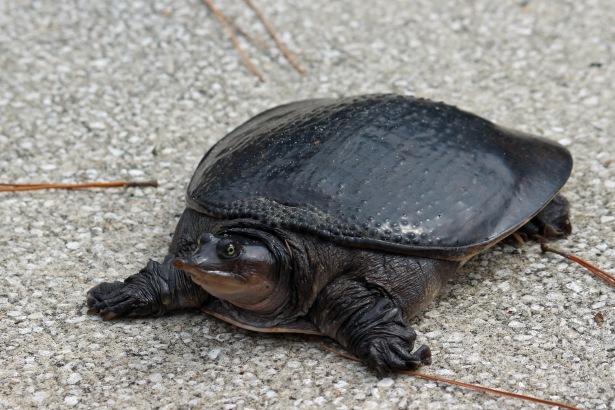 Soft shell turtle