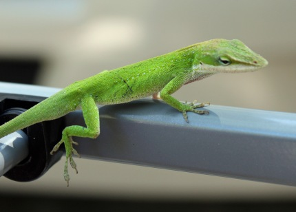 Green anole