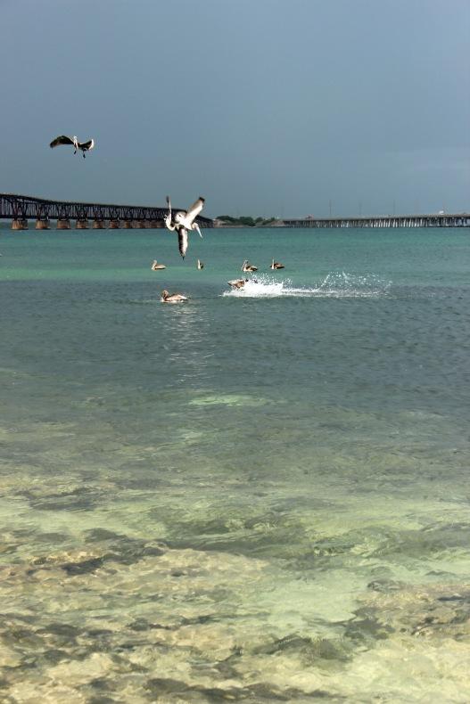 Pelicans feeding, Bahia Honda SP