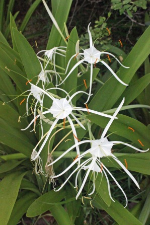 Beach spiderlily