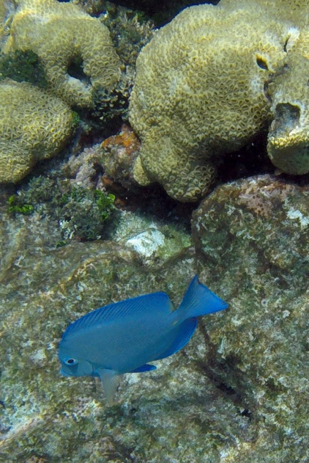 Blue reef fish