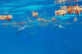 Reef sargassum