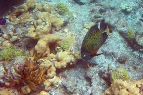 French angelfish