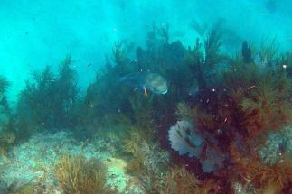 Tetraodon puffer fish