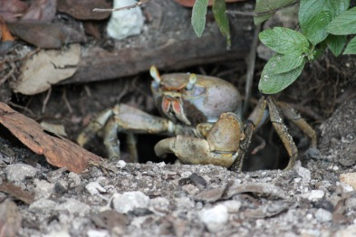 Giant land crab