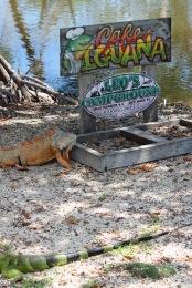 No wonder we had iguanas in camp!