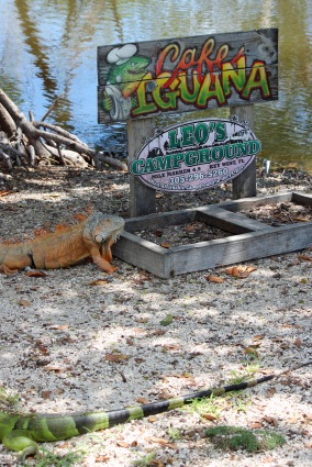 No wonder we had iguanas in camp!