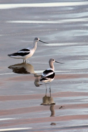 Avocets at dusk