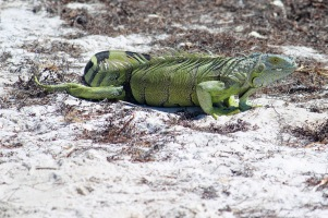 Iguana at Curry Hammock SP