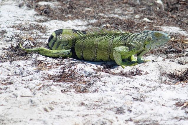 Iguana at Curry Hammock SP