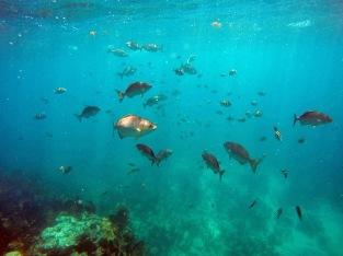 reef fish school