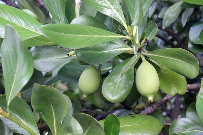 Strangler fig