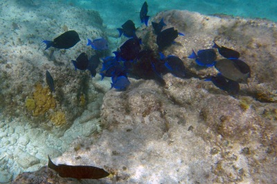 Coco Cay blue tang