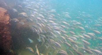 Schools and schools of baitfish