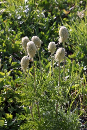 a beargrass