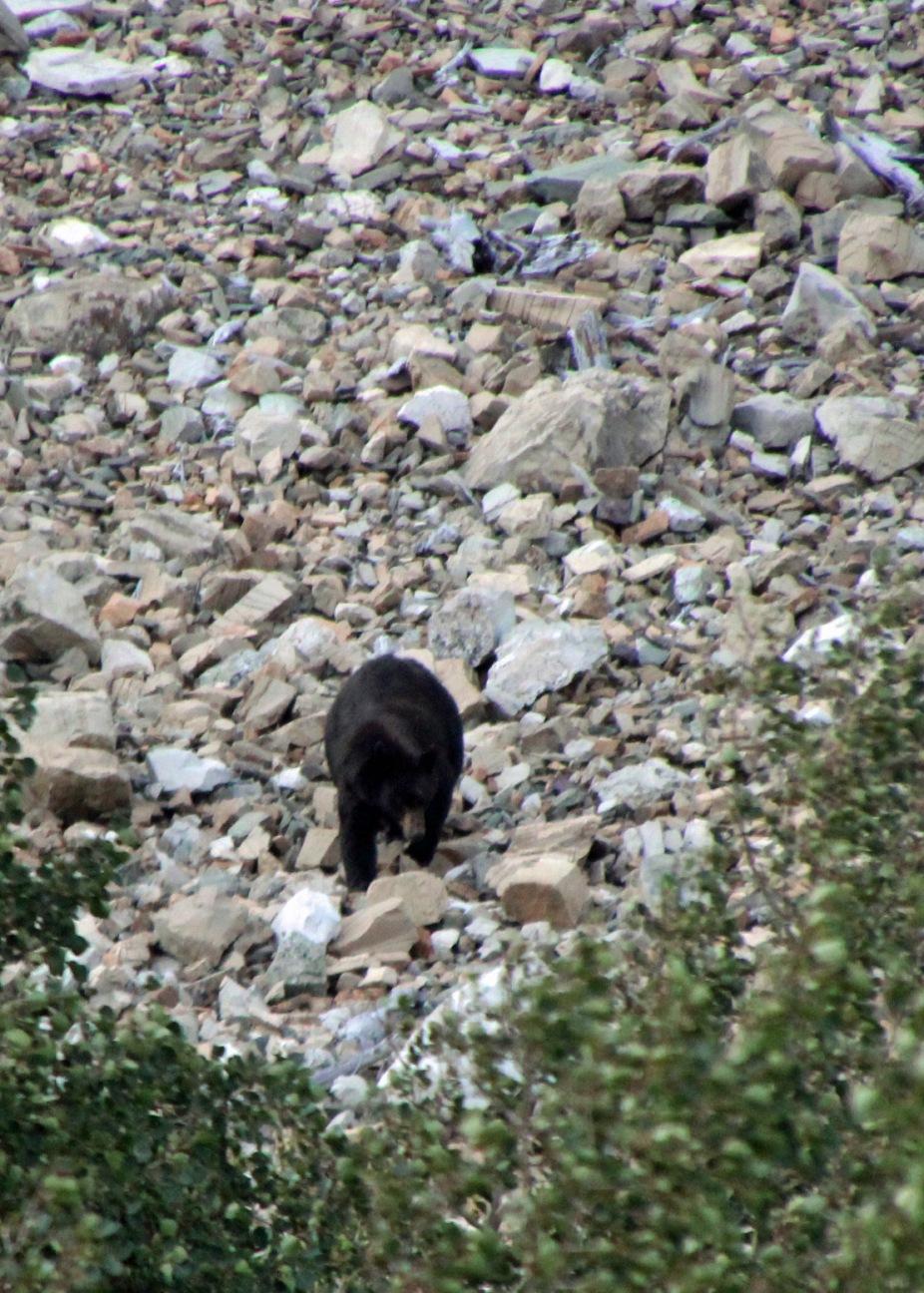 a black bear 2