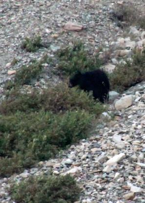 a black bear 3