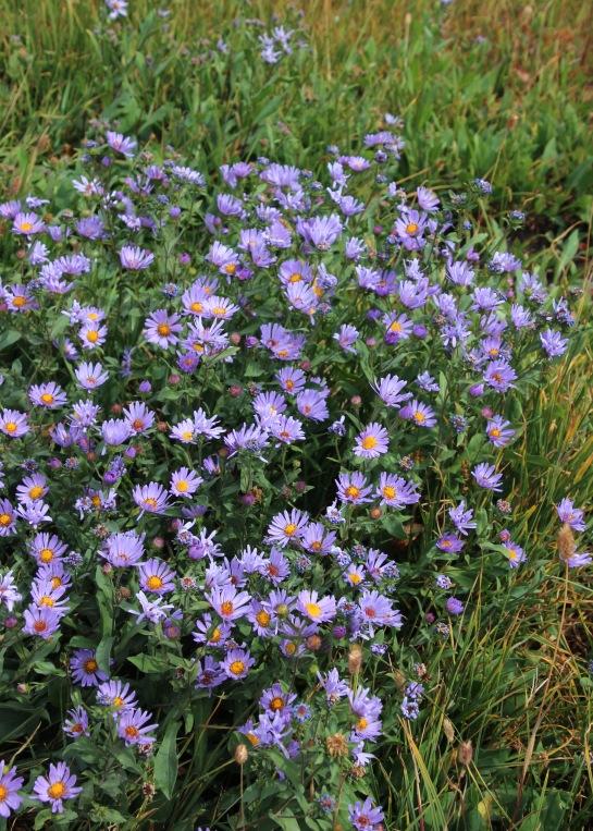 a blue daisies