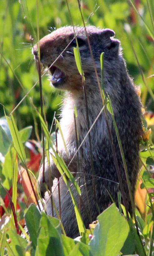 a ground squirrel 2