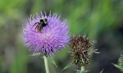 b Bee