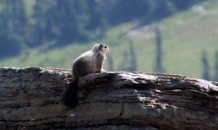 b marmot 2