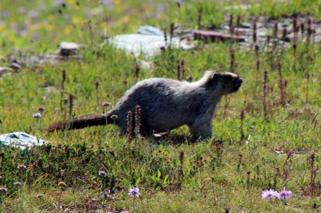 b marmot