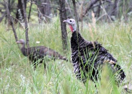 b Turkey 1