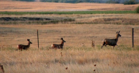 Mule deer out for a morning stroll