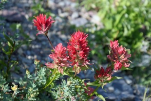 Indian paintbrush, pink variety