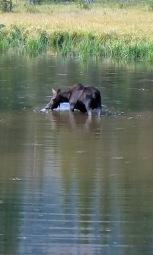 a Moose ponds