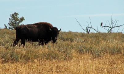 Bison and hawk