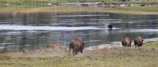 Bison swim