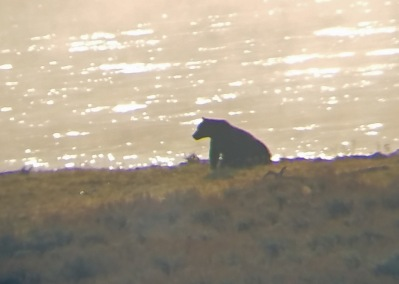 Grizzly at river (1)
