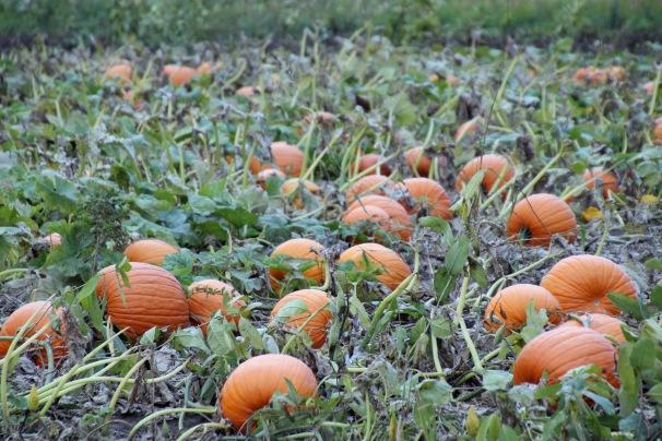 ~pumpkin patch