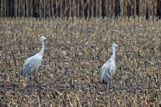 ~Sandhill cranes Rural MI (5)
