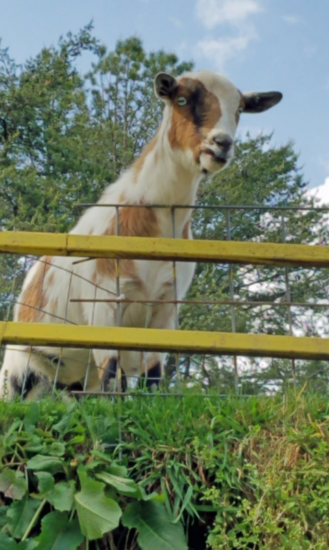 ~Goats on the Roof (171)