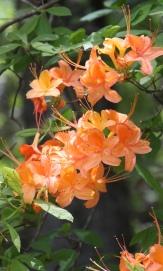 Native azalea