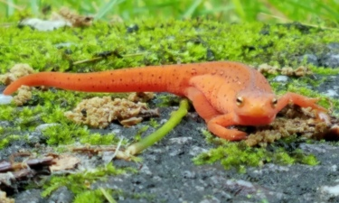 ~Red Salamander